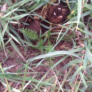 Little Yarrow seedlings